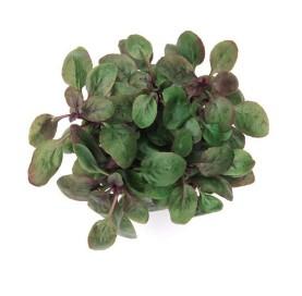 Lobelia Mini Wrinkled Leaf