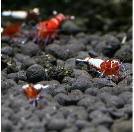 Gamba Caridina Taiwan Red Pinto (Red Taitibee)