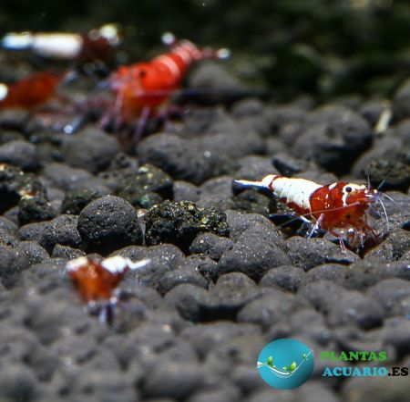 Gamba Caridina Taiwan Red Pinto