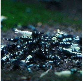 Gamba Caridina Taiwan Black Pinto (Black Taitibee)