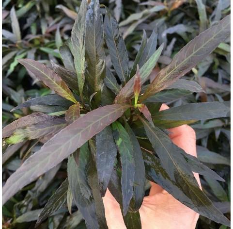 Hygrophila Angustifolia Rubra