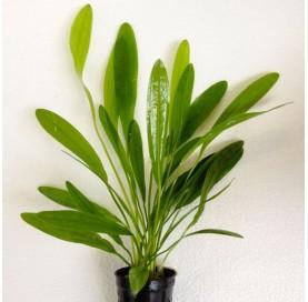 Echinodorus Horemanii Green