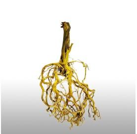 Raiz de Pradera ( Meadow Root )
