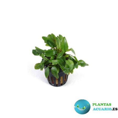 Cryptocoryne x Willisii