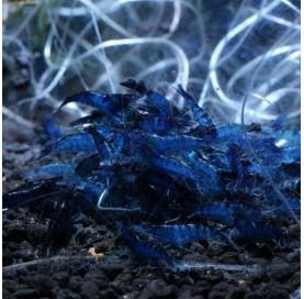 "Gamba Neocaridina Azul ""BLUE VELVET"""