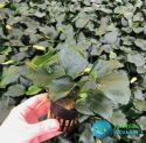 Anubia Nana Thick Leaf