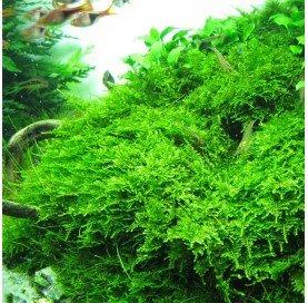 """Musgo Vesicularia Montagnei """"Christmas Moss"""""""