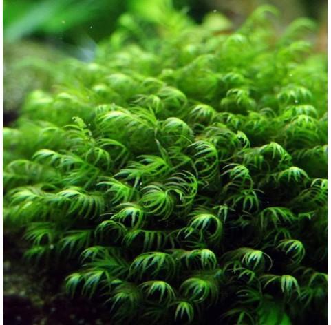 "Musgo Fissidens Fontanus ""Phoenix Moss"""