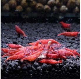 Gamba Neocaridina Roja Sakura Red Fire