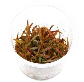 "Hygrophila lancea "" Araguaia "" In Vitro"