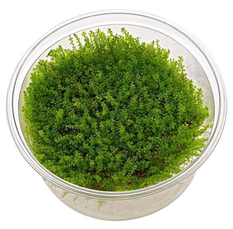 Musgo Plagiomnium Affine In Vitro
