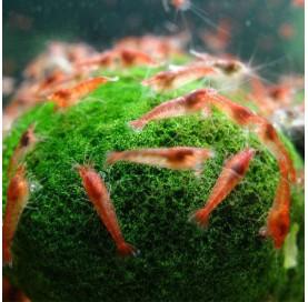 Gamba Neocaridina Heteropoda Red Cherry