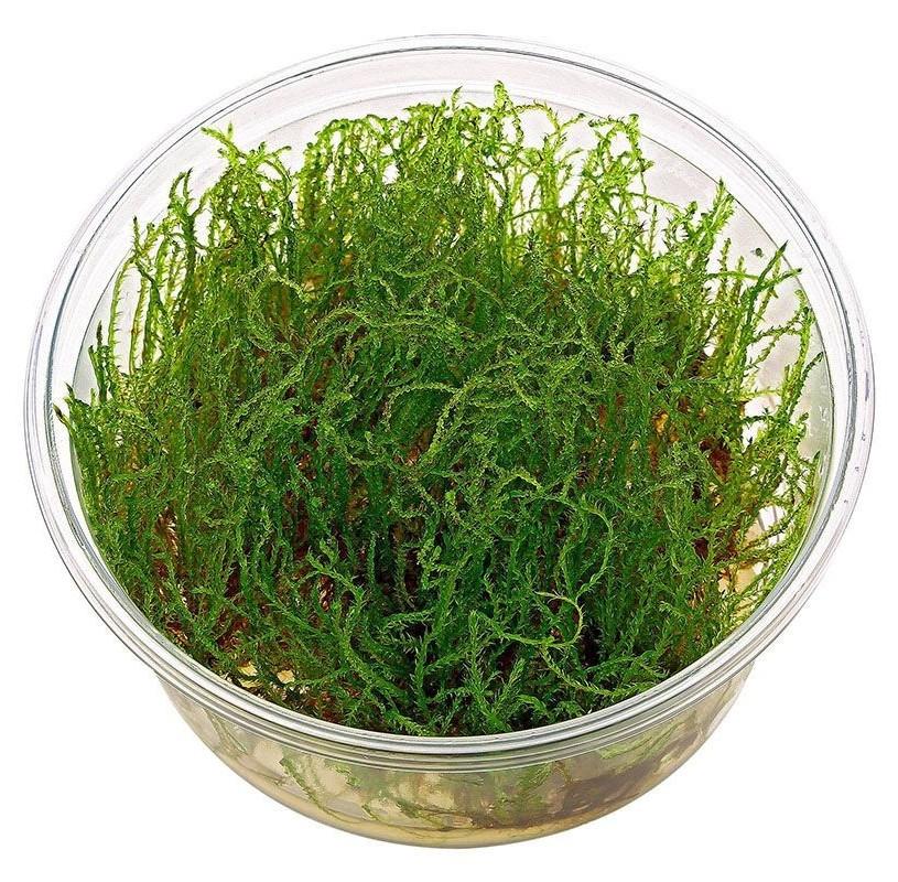 Musgo Creeping Moss In Vitro