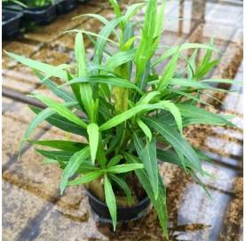 "Hygrophila Corymbosa Salicifolia "" Narrow Leaf """