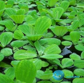 Lechuga de Agua (PLANTA FLOTANTE)