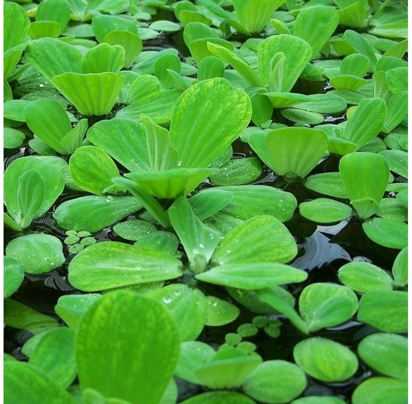 Lechuga de agua planta flotante for Accesorios para estanques de agua