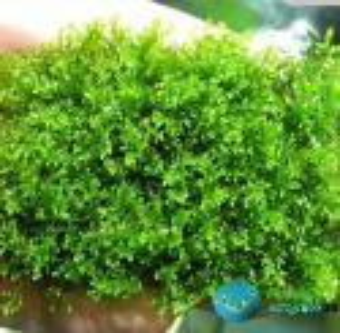 "Musgo Riccardia Chamedryfolia "" Mini Pellia"""