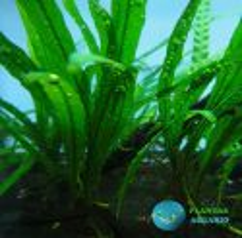 Helecho de Java Microsorum Pteropus