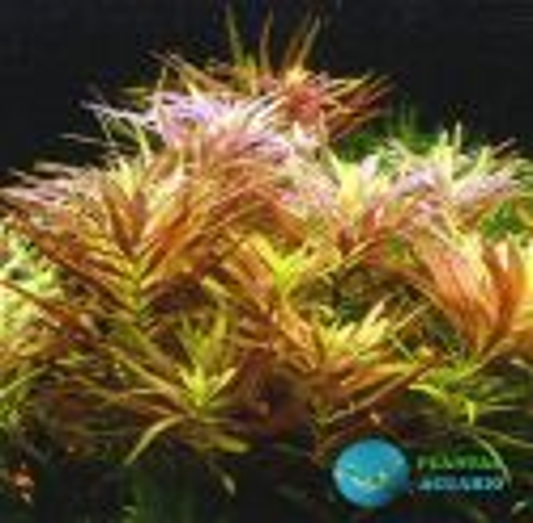 Limnophila Aromatica Red