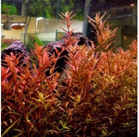 Rotala Rotundifolia / Indica