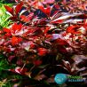 Ludwigia Palustris Red