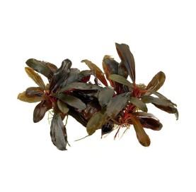 Bucephalandra Brownie In Vitro