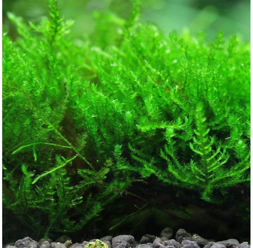 Musgo Erecto (Erect Moss) , Vesicularia Reticulata