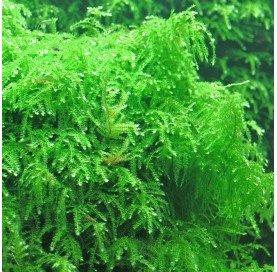 Musgo Lloron (Weeping Moss) , Vesicularia Ferriei