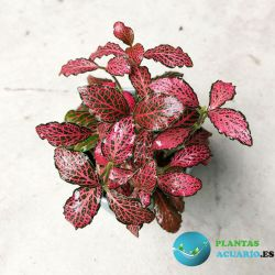 Fittonia Forest Flame