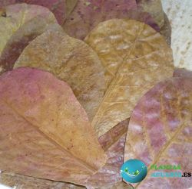 Terminalia Catappa, hojas de almendro indio