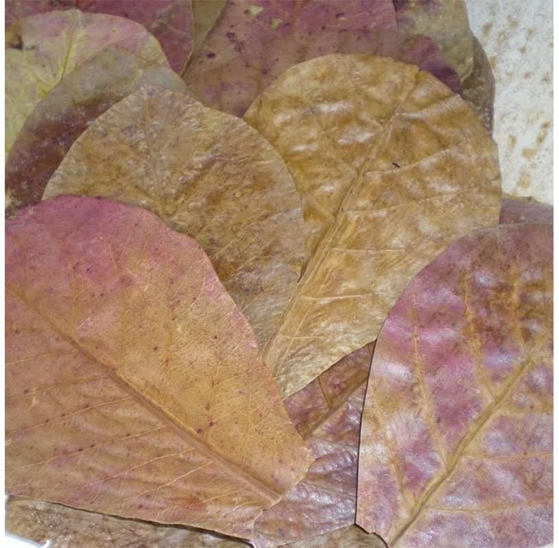 Terminalia Catappa, almendro indio