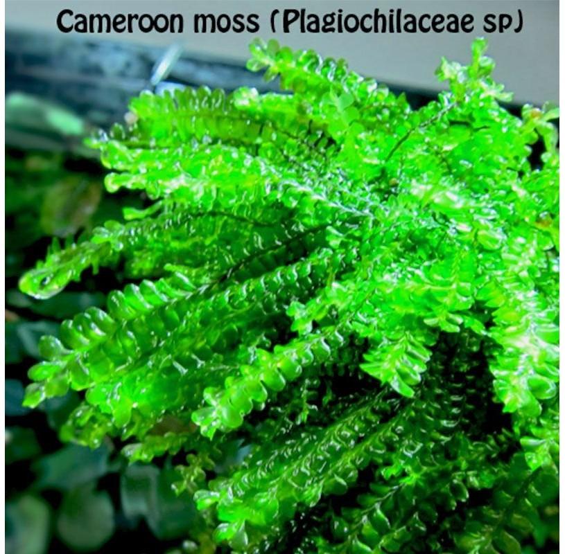 Musgo de Camerún (Cameroon moss) , Plagiochilaceae sp