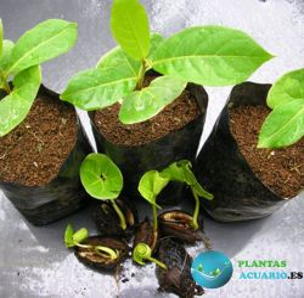 Árbol Terminalia Catappa joven, Plantón 10-30cm Almendro Indio