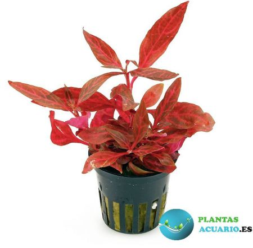 Alternanthera Rosaefolia Rosanervig