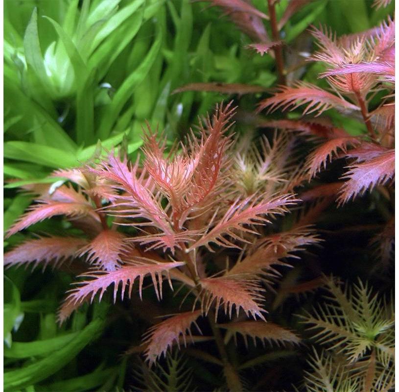"""Proserpinaca Palustris Red """"Cuba"""""""