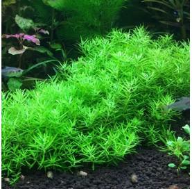 "Limnophila Mini ""VIETNAM"""