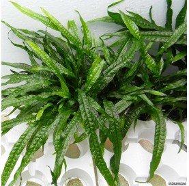 Helecho Microsorum minor pteropus Narrow Leaf