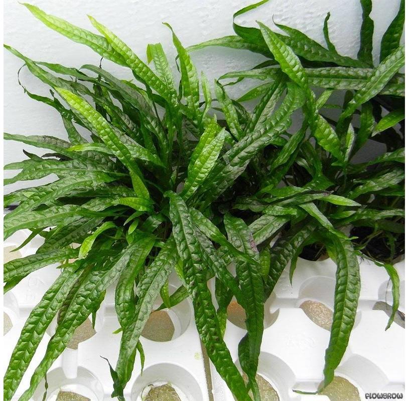 Helecho Microsorum pteropus Narrow Leaf