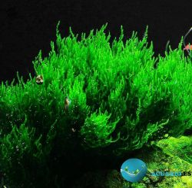 Musgo Flame Moss , Taxiphyllum sp