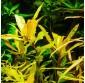 """Nesaea pedicellata """"Golden"""""""