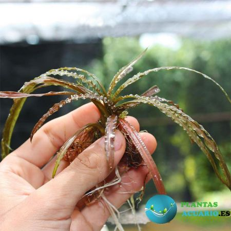 Cryptocoryne Balansae Brown
