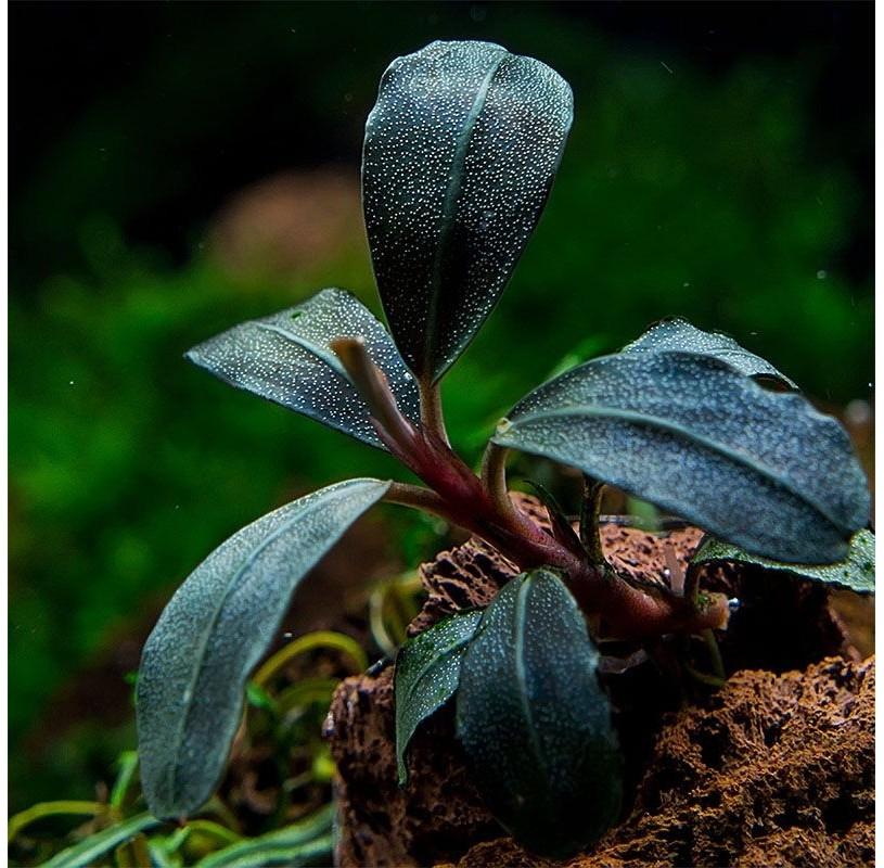 Bucephalandra sp Lamandau