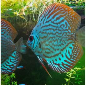 Disco Royal Blue (Symphysodon aequifasciatus)